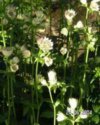 Astrantia major, stjänflocka