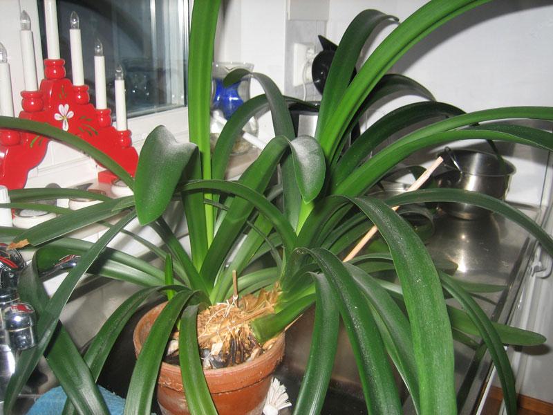 växt med långa gröna blad