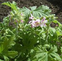 Dr Westerlunds hälsoblomma, Pelargonium graveolens