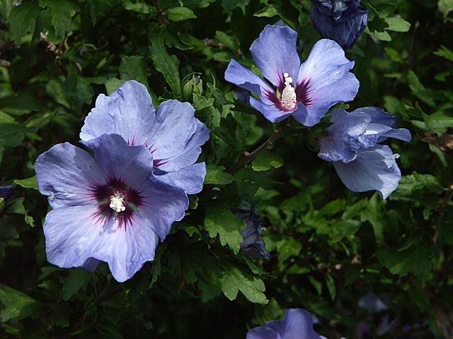 buske med lila blommor