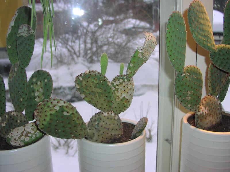 var köpa stora kaktusar