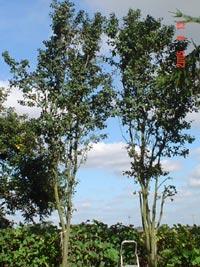 Gamla plommonträd