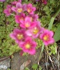 Saxifraga x arendsii, rosenbräcka