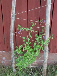 Besksöta, Solanum dulcamara
