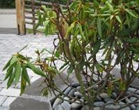 Rhododendron - gula blad