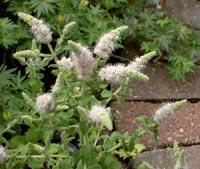 Grönmynta, Mentha spicata