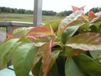 Acalypha wilkesiana, mosaikblad