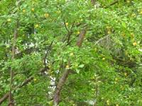 Vildplommon, Prunus domestica