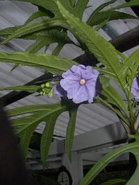 Känguruäpple, Solanum aviculare
