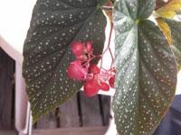 Fläckbegonia! Begonia Corallina-grupp 'Luzerna'