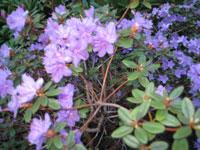 Smårododendron, ev. sorten 'Blue Tit'