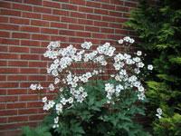 Vitblommig höstanemon, ev. sorten Anemone × hybrida 'Honorine Jobert'