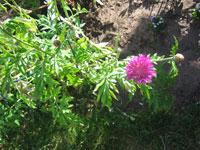 Strävklint, Centaurea dealbata, ev. sorten 'Stenbergii'