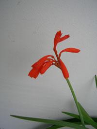 Cyrtanthus sanguineus