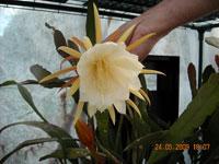 Epiphyllum oxopetalum