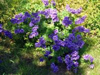 Turknäva, Geranium ibericum
