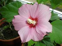 Hibuscus, H. rosa-sinensis