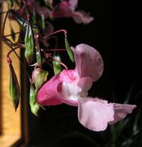 Jättebalsamin, Impatiens glandulosa