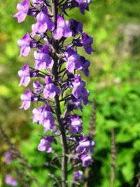 Purpursporre, Linaria purpurea