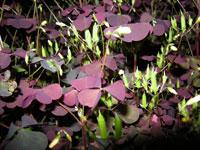 Klöveroxalis, Oxalis fontana