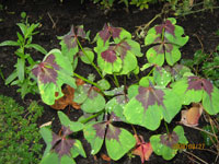 Lyckoklöver, Oxalis articulata