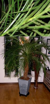 Palm Phoenix