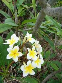 Frangipaniträd, Plumeria obtusa