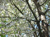 Fylldblommigt fågelbär, Prunus avium 'Oxhjärta'