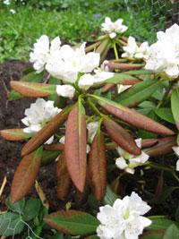 Vår rhododendron blir brun