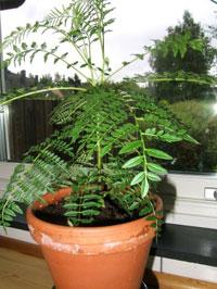 Sensitiva, rör-mig-ej, Mimosa pudica
