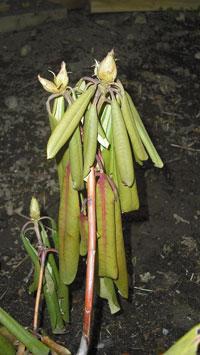 Sjuk rhododendron