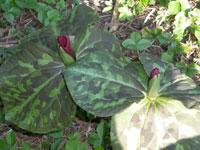 Trillium chloropetalum, eventuellt var. giganteum (syn. var. rubrum), jättetreblad