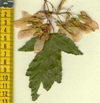 Acer campestre, näverlönn