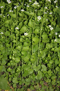 Löktrav, Alliaria petiolata