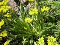 Allium moly, guldlök