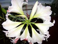 Amaryllis, 8 blommor på en stjälk