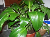 Amazonlilja, Eucharis grandiflora