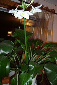 Amazonlilja, Eucharis ×grandiflora