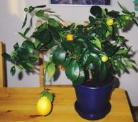 En citron i apelsinträdet