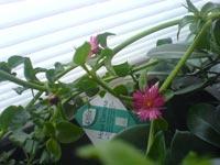 Hjärtreva, Aptenia cordfolia