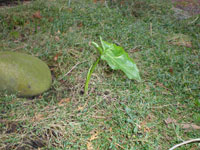 Kanske italiensk munkhätta, Arum italicum