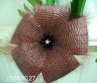 Asblomma, Stapelia grandiflora