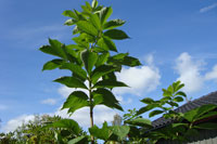 Ask-planta