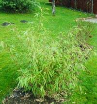 Bambuplanta, Fargesia dracocephala