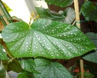 Begonia maculata 'Picta'