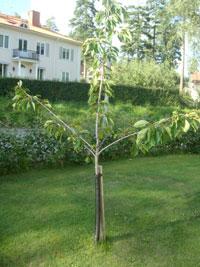Beskära körsbärsträd