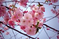 Prydnadskörsbär, Prunus, 'Accolade'