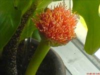 Scadoxus multiflorus, bollilja