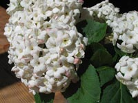 Snöbollsbuske eller bollolvon, Viburnum x carlcephalum