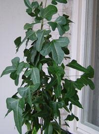 Kurrajongträd, Brachychiton populneus